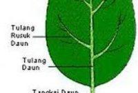Mengenal Daun Tunggal ( Folium Simplex )