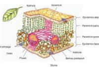 Mengenal 5 Jaringan Pada Tumbuhan serta Fungsinya Lengkap