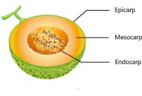 Morfologi Buah (fruktus) Lengkap