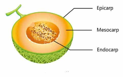 morfologi-buah