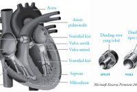Jantung – Organ Penyusun Sistem Peredaran Darah Manusia