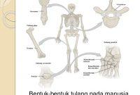 Struktur dan Bentuk Tulang serta Penjelasannya