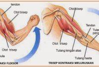 Penjelasan Mekanisme Kerja Otot Terlengkap
