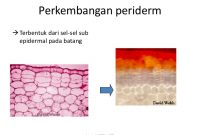 Periderm – Penjelasan Struktur Periderm Penting