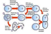 Perkembangbiakan pada Virus serta Penjelasannya