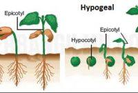 Pertumbuhan dan Perkembangan Awal Pada Tumbuhan