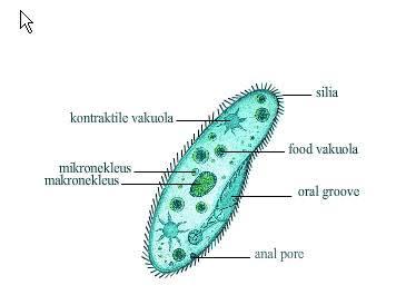 60 Koleksi Contoh Hewan Protozoa Beserta Gambar Terbaru