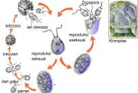 Penjelasan Diatom (Bacillariophyta) Terlengkap