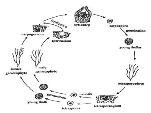Reproduksi-Alga-Merah