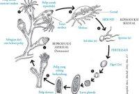 Mengenal Kelas Hydrozoa serta Penjelasannya