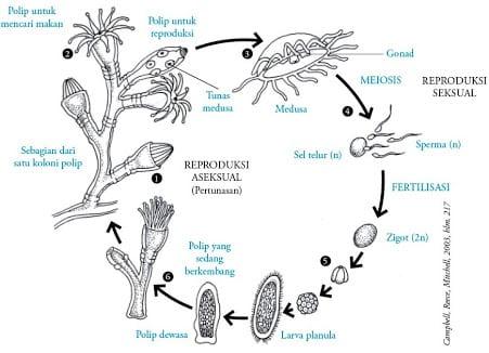 kelas-hydrozoa