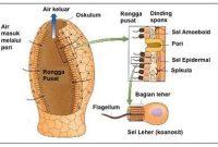 Ciri – Ciri serta Struktur Tubuh Porifera Lengkap