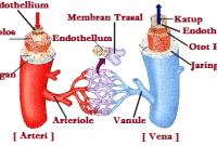 Pembuluh Darah – Organ Penyusun Sistem Peredaran Darah Manusia
