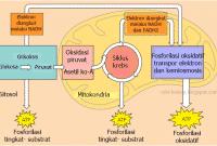 Contoh Reaksi Katabolisme – Respirasi Aerob dan Anaerob