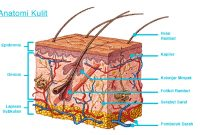 Kulit – Fungsi dan Struktur Kulit Terlengkap