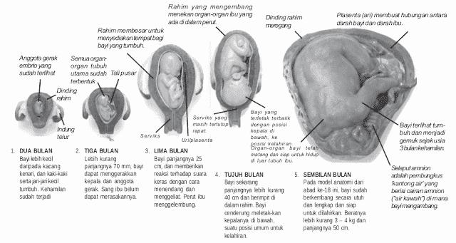 Pertumbuhan dan perkembangan janin dalam rahim ibu