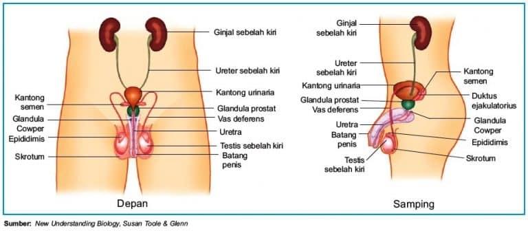Sistem reproduksi pada pria tampak depan dan samping