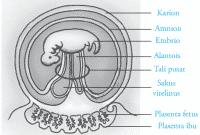 Pembuahan (Fertilisasi), Kehamilan (Gestasi) dan Persalinan (Partus)