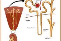 Memahami Struktur Ginjal Terlengkap