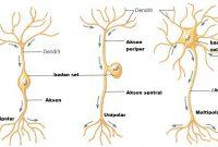 Neuron (sel saraf) pada Manusia