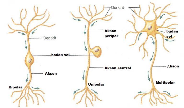 Tipe neuron berdasarkan strukturnya