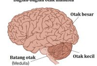 Penjelasan Serebrum (Otak Besar) Paling Penting