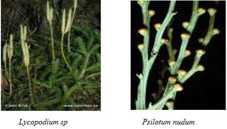 gambar Tumbuhan Paku Kawat (Lycopsida)