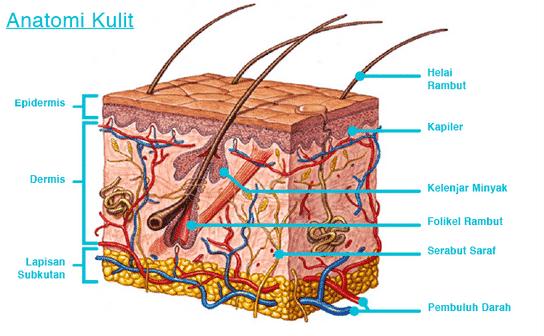 Anatomi Kulit Dan Gambar Serta Fungsinya Portal Pendidikan Indonesia