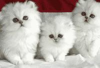 Cara-Merawat-Kucing-Persia-dengan-Benar